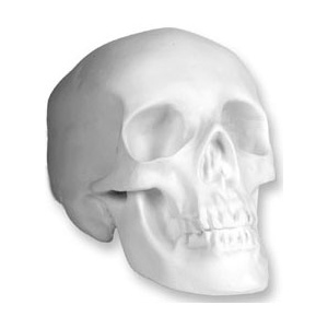 Sculpture House Study Cast: Human Skull