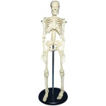 "Heritage Arts™ Child Plastic Skeleton: Plastic, 18"", Skeleton, (model SKE-3A), price per each"